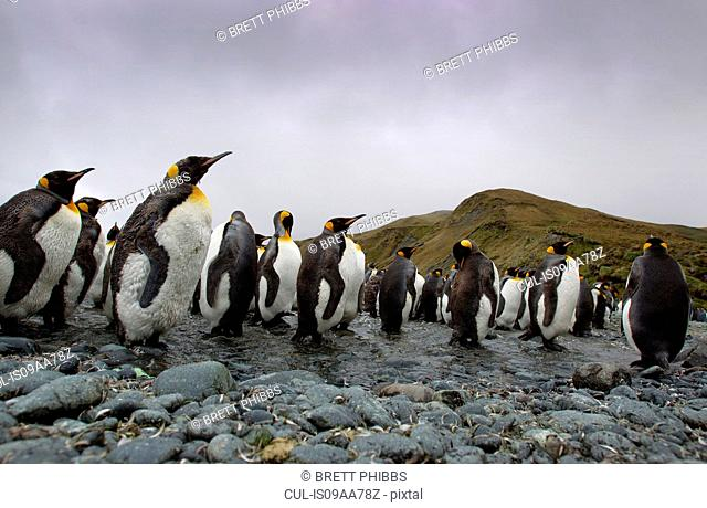 King Penguins, Macquarie Island, Southern Ocean