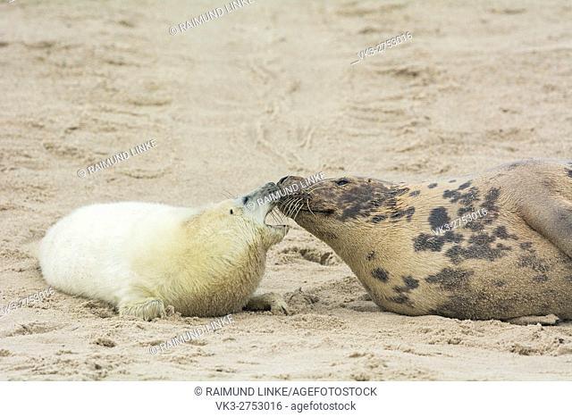 Grey Seal, Halichoerus grypus, Female wih Pup, Europe