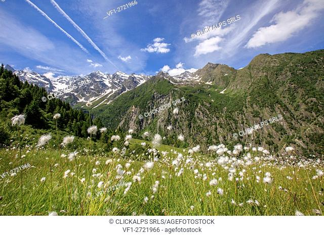 Sunny day on the flowering cotton grass surrounded by green meadows Orobie Alps Arigna Valley Sondrio Valtellina Lombardy Italy Europe