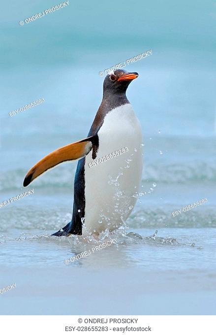 Gentoo penguin jumps