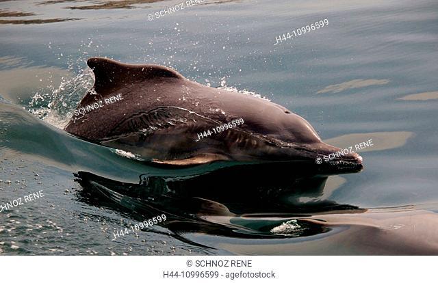 Dolphin, Oman, Musandan