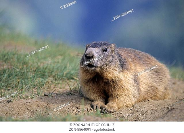Young Alpine Marmot resting relaxed