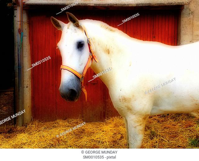 White horse in stable yard