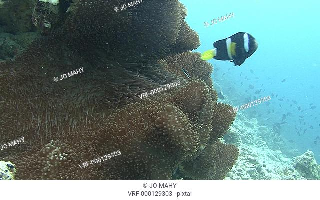 Clown fish and anemone. Maldives, Indian Ocean