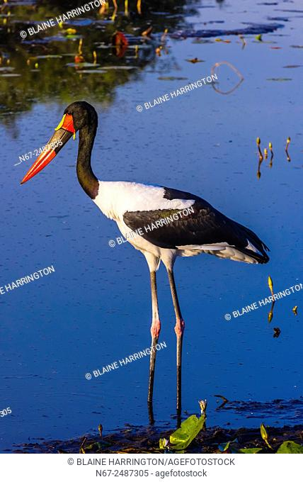 Saddle-billed stork standing in a shallow stream, near Kwara Camp, Okavango Delta, Botswana