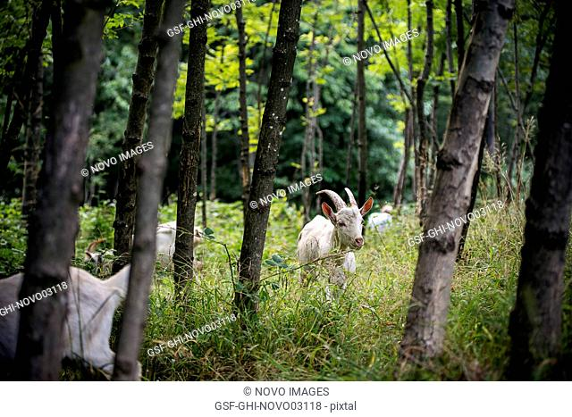 Goats Foraging in Woods
