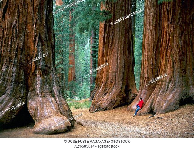 Sequoia trees in Mariposa Grove, Yosemite National Park. California, USA (July 2007)