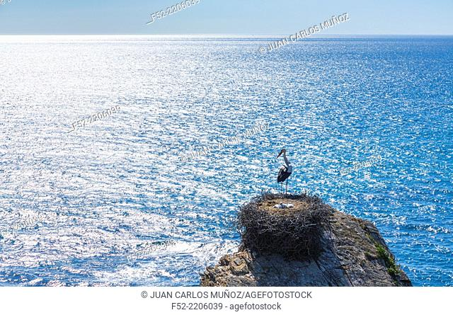 White Stork, Zambujeira do Mar, Natural Park of Southwest Alentejo and Costa Vicentina, Alentejo, Portugal, Europe