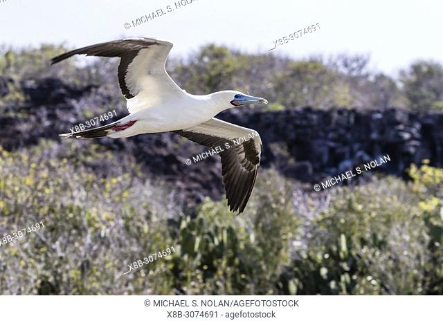 Adult red-footed booby, Sula sula, in flight with nesting material on Genovesa Island, Galápagos, Ecuador