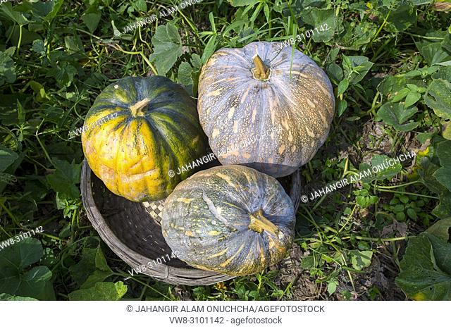 The Arial Beel (water body) of Munshiganj is famous for producing special kind of big-sized of sweet pumpkins; the local growers are making a huge profit