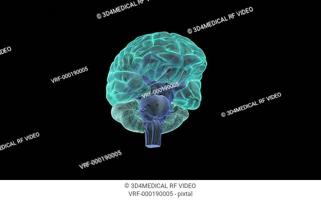 An animation of the pituitary gland. The camera zooms in to the ventral surface of the brain to show the pituitary gland