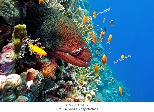 colorful coral reef with dangerous great moray eel at the bottom of tropical sea