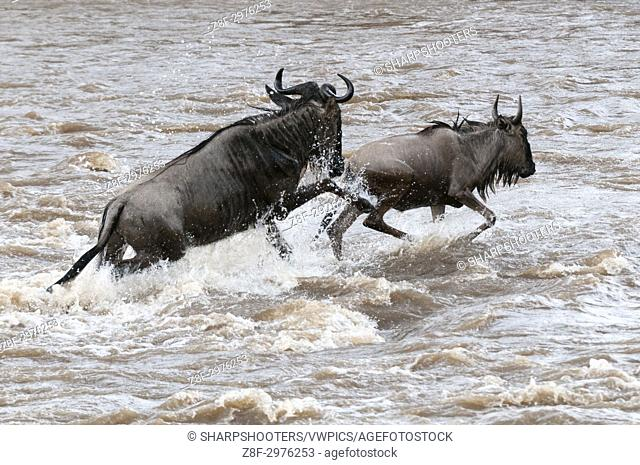 Wildebeest (Connochaetes taurinus) crossing the river Mara, Masai Mara, Kenya