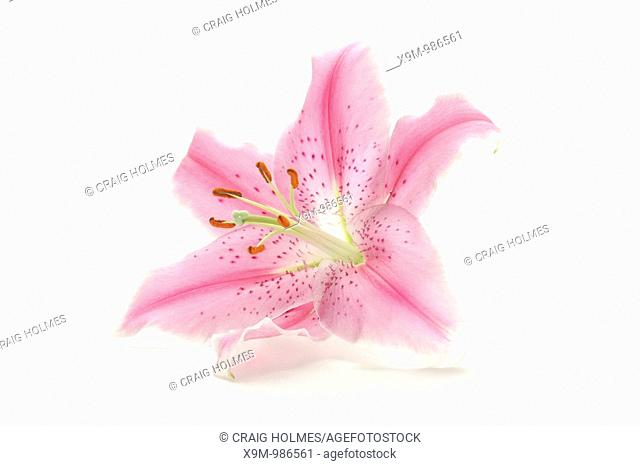 pink sorbonne lily petals stock photos and images age fotostock