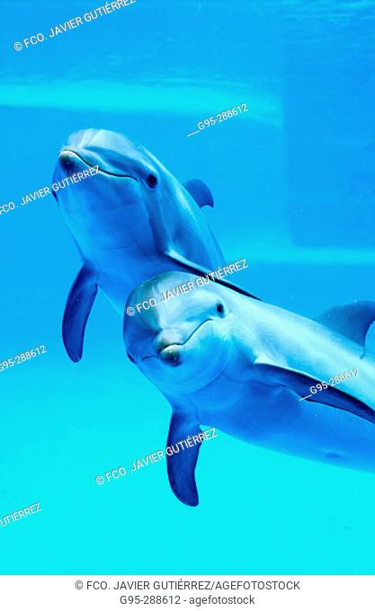 Bottlenose Dolphin (Tursiops truncatus) in captivity