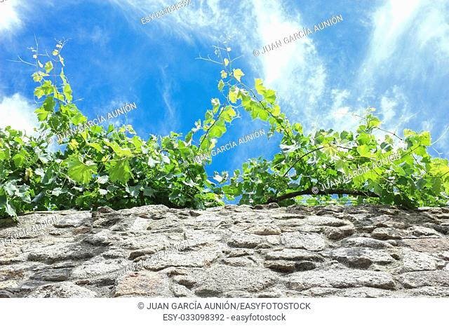 Vines growing along a wall of granite wall of Trujillo downtown, Spain. Low angle view