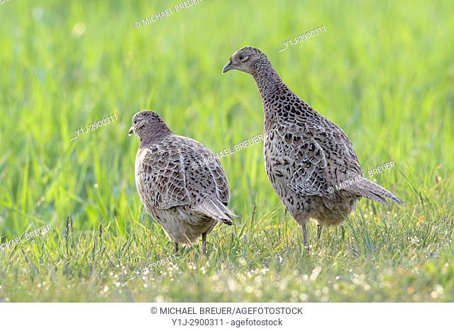 Pheasants in Springtime, Phasianus colchicus, Female, Hesse, Germany, Europe