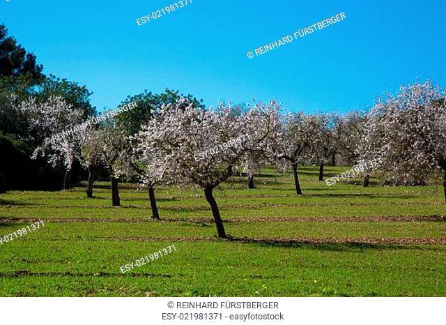 Wiese mit bblühenden Mandelbäumen