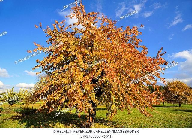 Sweet cherry (Prunus avium subsp. juliana) in autumn, Middle Franconia, Bavaria, Germany