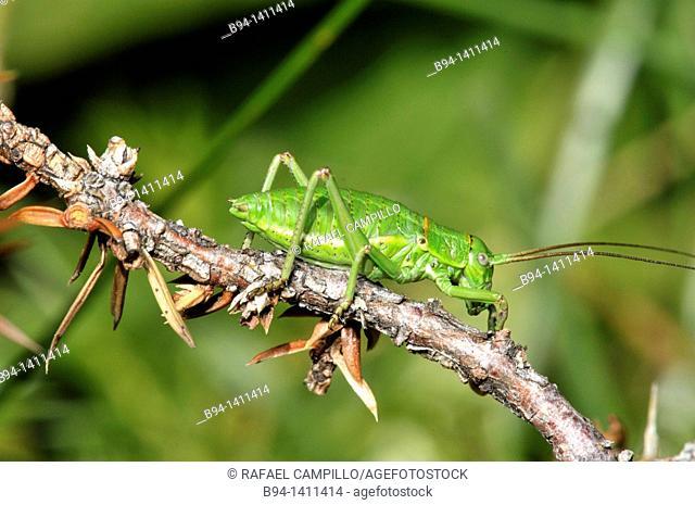 Mediterranean Katydid (Ephippiger ephipigger). Osseja, Pyrenees-Orientales, Languedoc-Roussillon, France