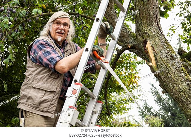 pensioners with a hand saw on a ladder at the plum tree