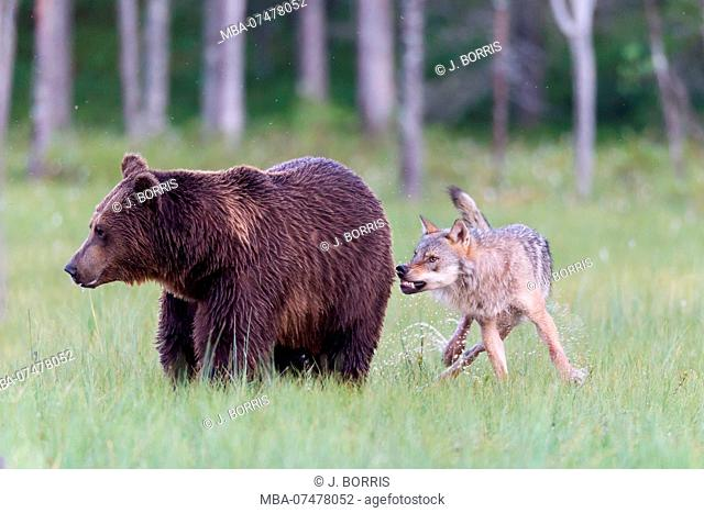 Wolf attacks Brown Bear