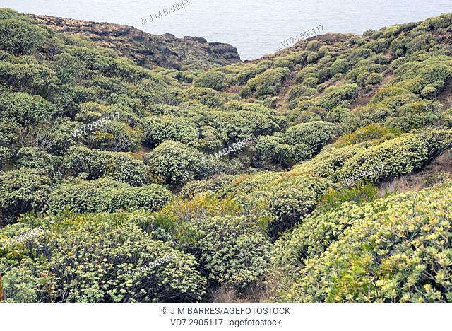 Tabaiba dulce (Euphorbia balsamifera) is a shrub native to Canary Islands, North Africa and Arabian Peninsula. This photo was taken in La Palma Island