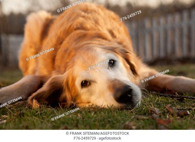 13 year old golden retriever male dog lying on the ground in the glow of the setting sun