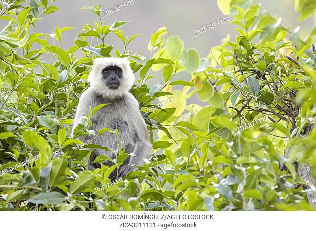 Nepal Gray Langur (Semnopithecus schistaceus) portrait. Pangot. Nainital district. Uttarakhand. India