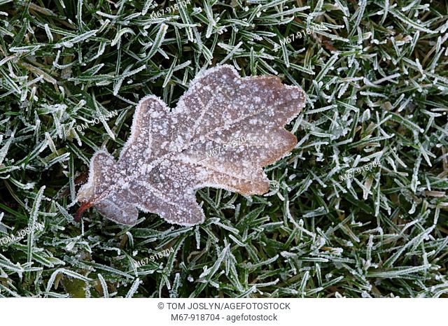 Frozen Oak leaf Quercus robur on grass in frost close up England UK