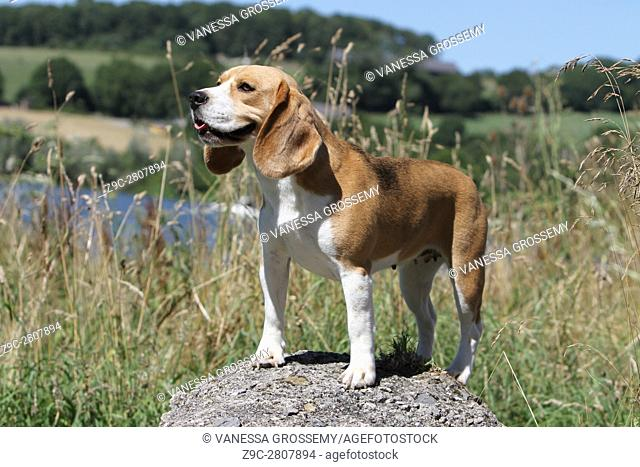 A Beagle dog standing on a rock
