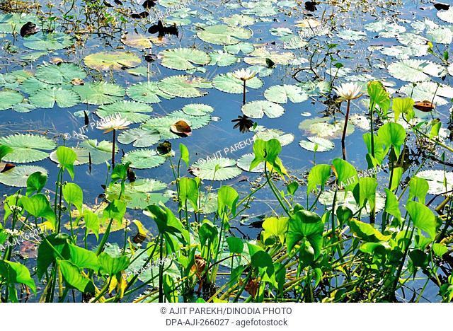 White Lotus flower in pond, Bhadeli, Valsad, Gujarat, India, Asia