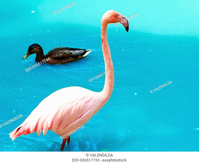 Pink flamingo and duck against zoo lake background