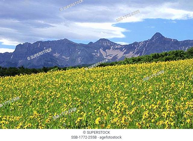 Sunflowers in a field, San Juan Mountains, Colorado, USA