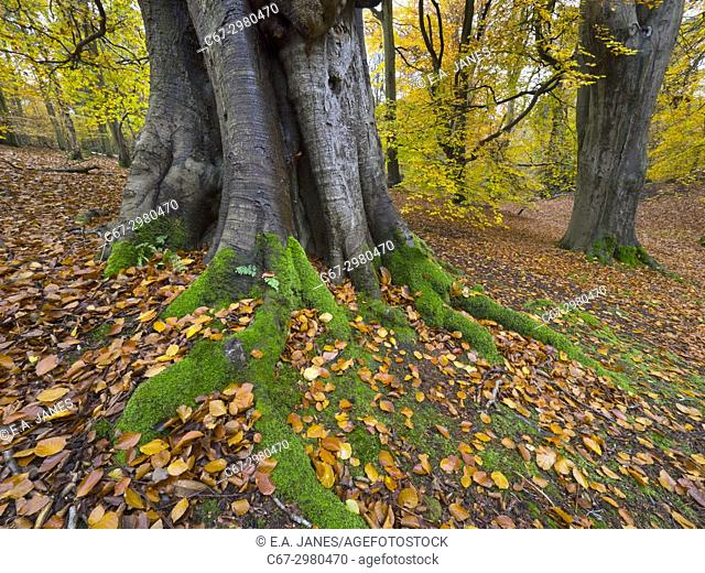Beech Fagus sylvatica covered in moss and autumn leaves Felbrigg Great Wood Norfolk UK Early November