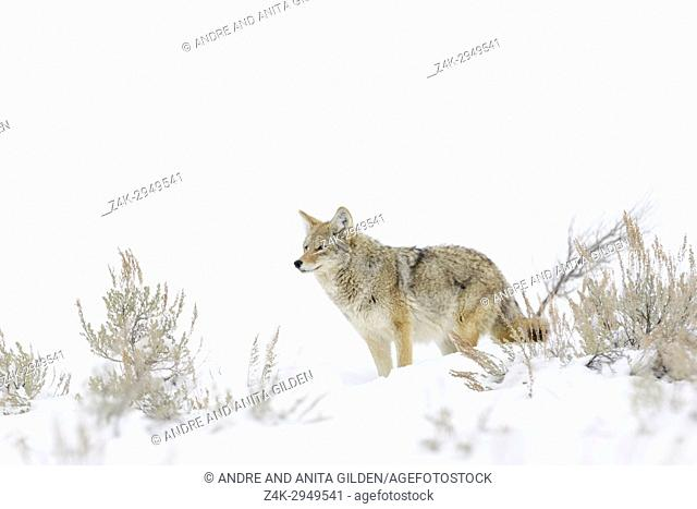 Coyote (Canis latrans) standing between sage bush in snow, Yellowstone National Park, Montana, Wyoming, USA