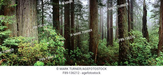 Foggy Pacific Coast Redwood forest with Pacific Rhododendron. Del Norte Coast Redwoods State Park. California. USA