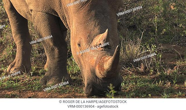 White rhinoceros (Ceratotherium simum), Madikwe Game Reserve feeding. North West Province. South Africa