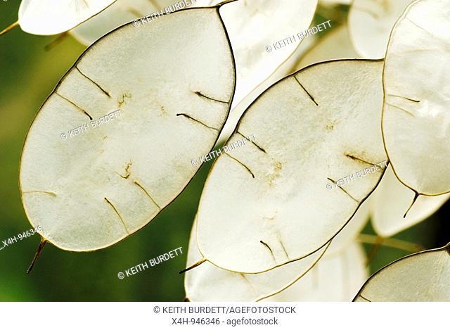 Honesty Lunaria annua seed cases
