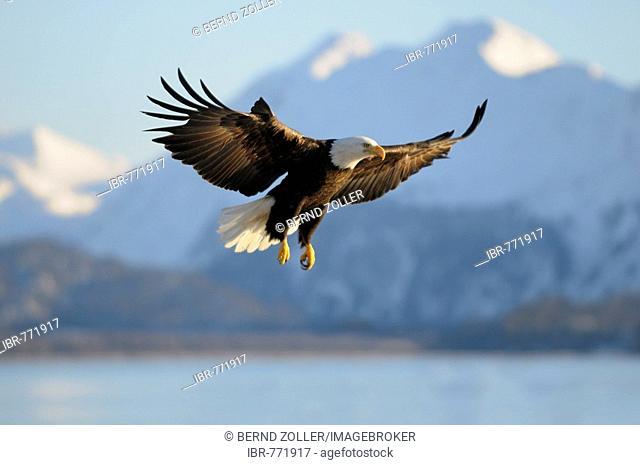 Bald Eagle (Haliaeetus leucocephalus) landing, mountain backdrop, Kachemak Bay State Park, Kenai Peninsula, Alaska, USA