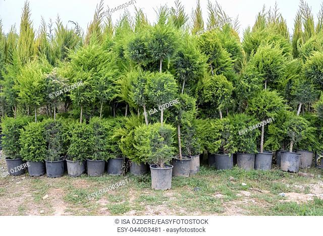 Many Green Golden Leyland Hedge trees (Cupressocyparis leylandii Castlewellan Gold) in plastic box for sale
