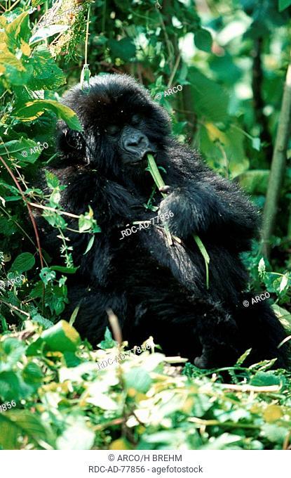 Mountain Gorilla female Volcano national park Rwanda Gorilla gorilla beringei