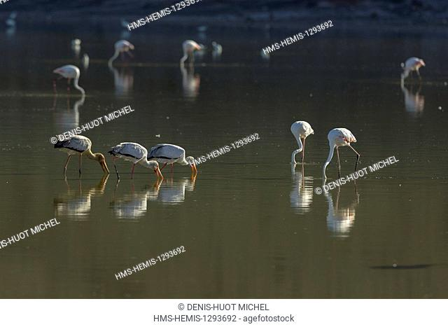Kenya, lake Magadi, yellow-billed stork (Mycteria ibis), fishing