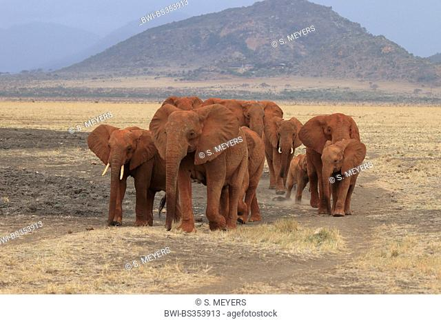 African elephant (Loxodonta africana), herd of elephants, Kenya, Tsavo East National Park