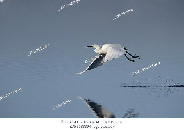 Little Egret- Egretta garzetta takes flight. Winter. . Uk