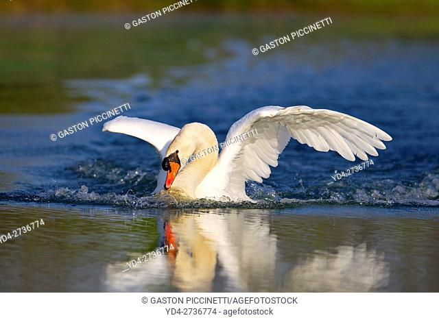 Mute swan (Cygnus olor), in the pond, Rising Sun, Indiana, USA