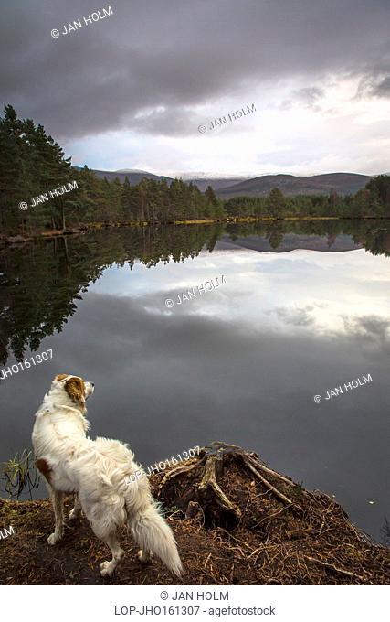 Scotland, Highland, Uath Lochan. An irish setter suveys the Uath Lochan at Glen Feshie