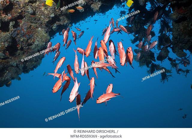 Brick Soldierfish, Myripristis amaena, Ellaidhoo House Reef, North Ari Atoll, Maldives