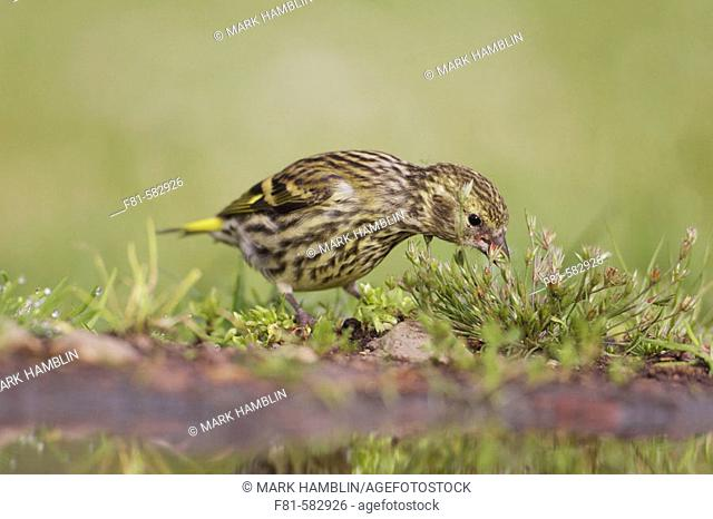 Siskin (Carduelis spinus) juvenile feeding on grass seeds on ground. Scotland. July 2006