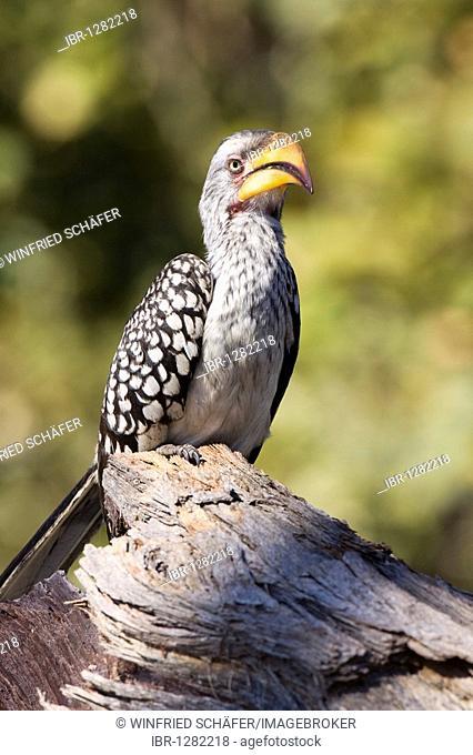 Yellow-billed Hornbill (Tockus flavirostris), Savuti, Chobe National Park, Botswana, Africa